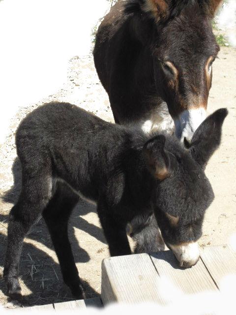 Damos la bienvenida a Pandereta, burrita que nació en Albitana el 26 de febrero