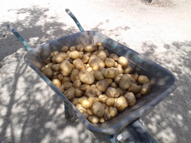 Patatas del huerto