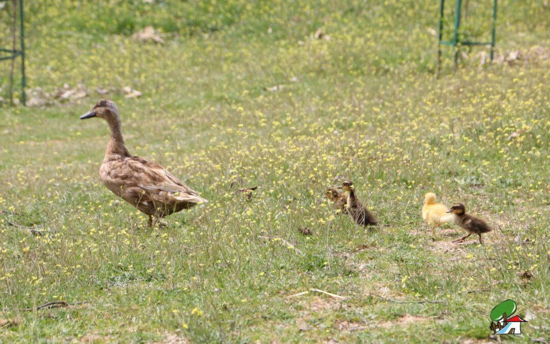 ¡Nuevas crías de pato en la familia de Albitana!