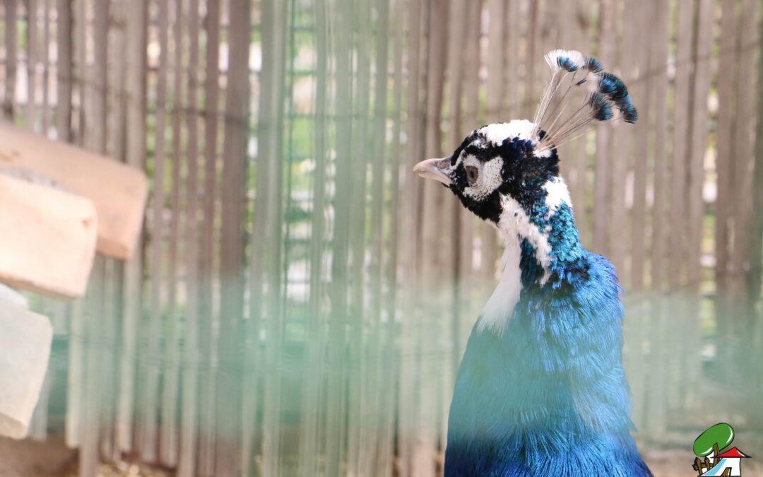 Una belleza natural: El pavo real