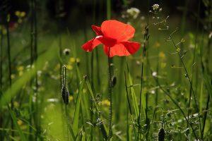 poppy-3137588_1280