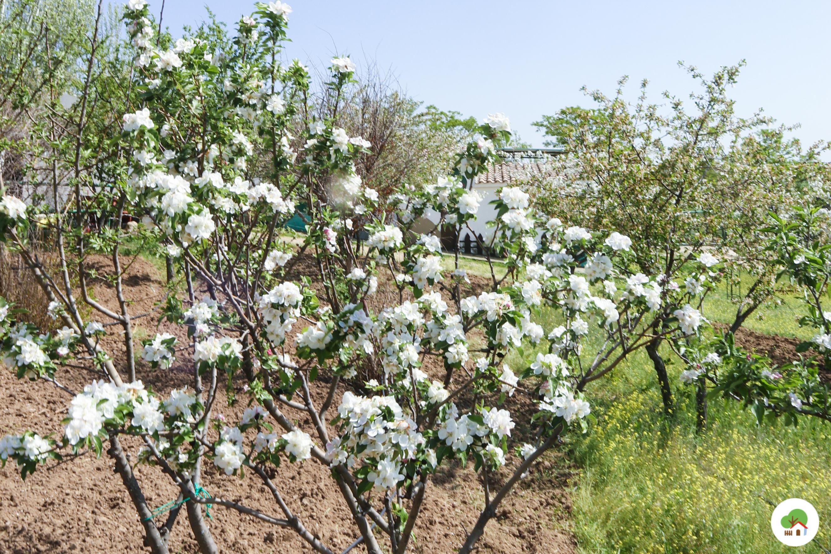 Cerezos en flor en el huerto, Albitana