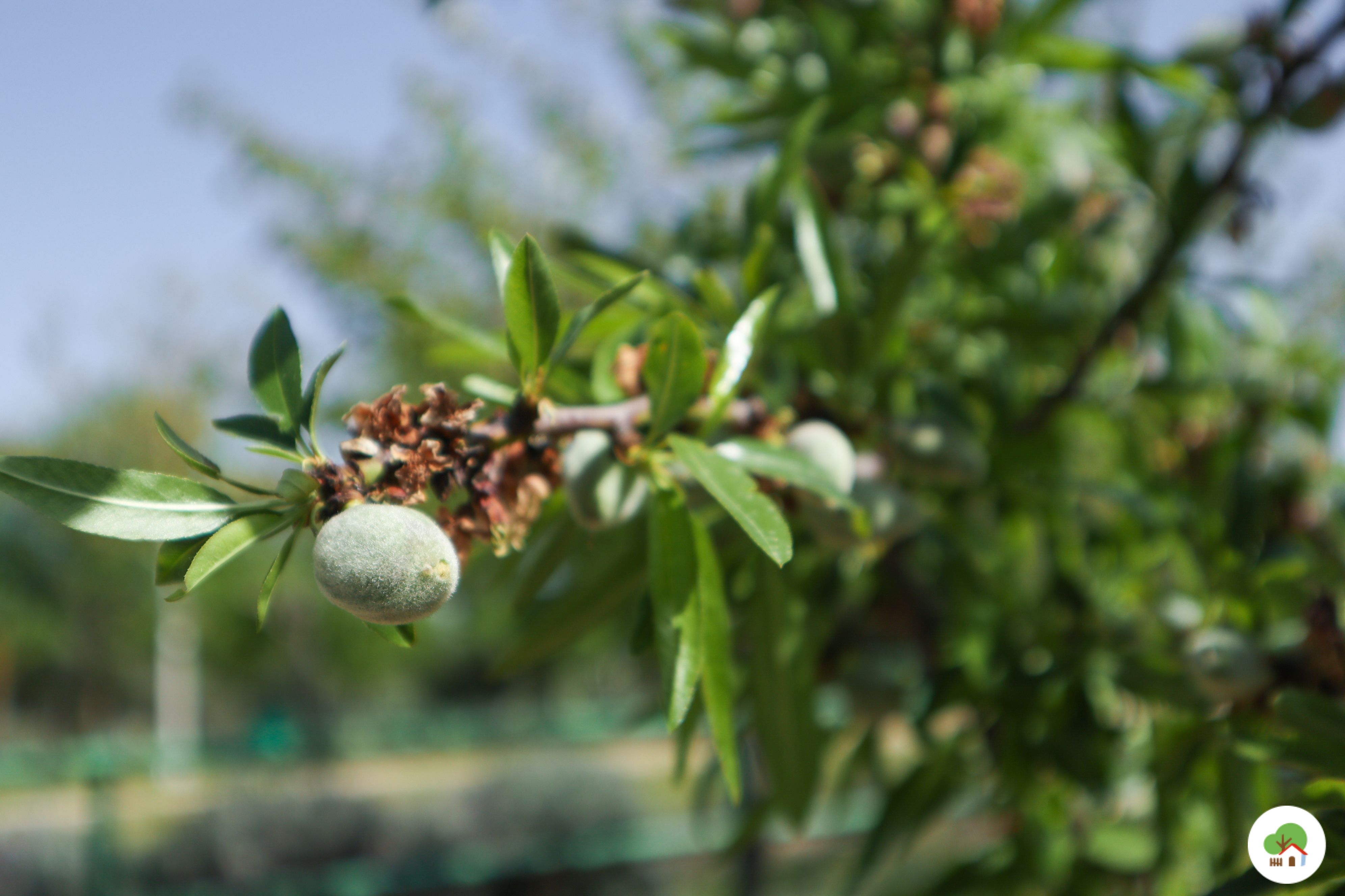 Frutos secos en el huerto, Albitana