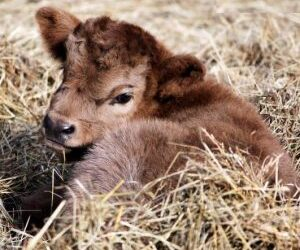 Ha nacido una cría de nuestra vaca Luna